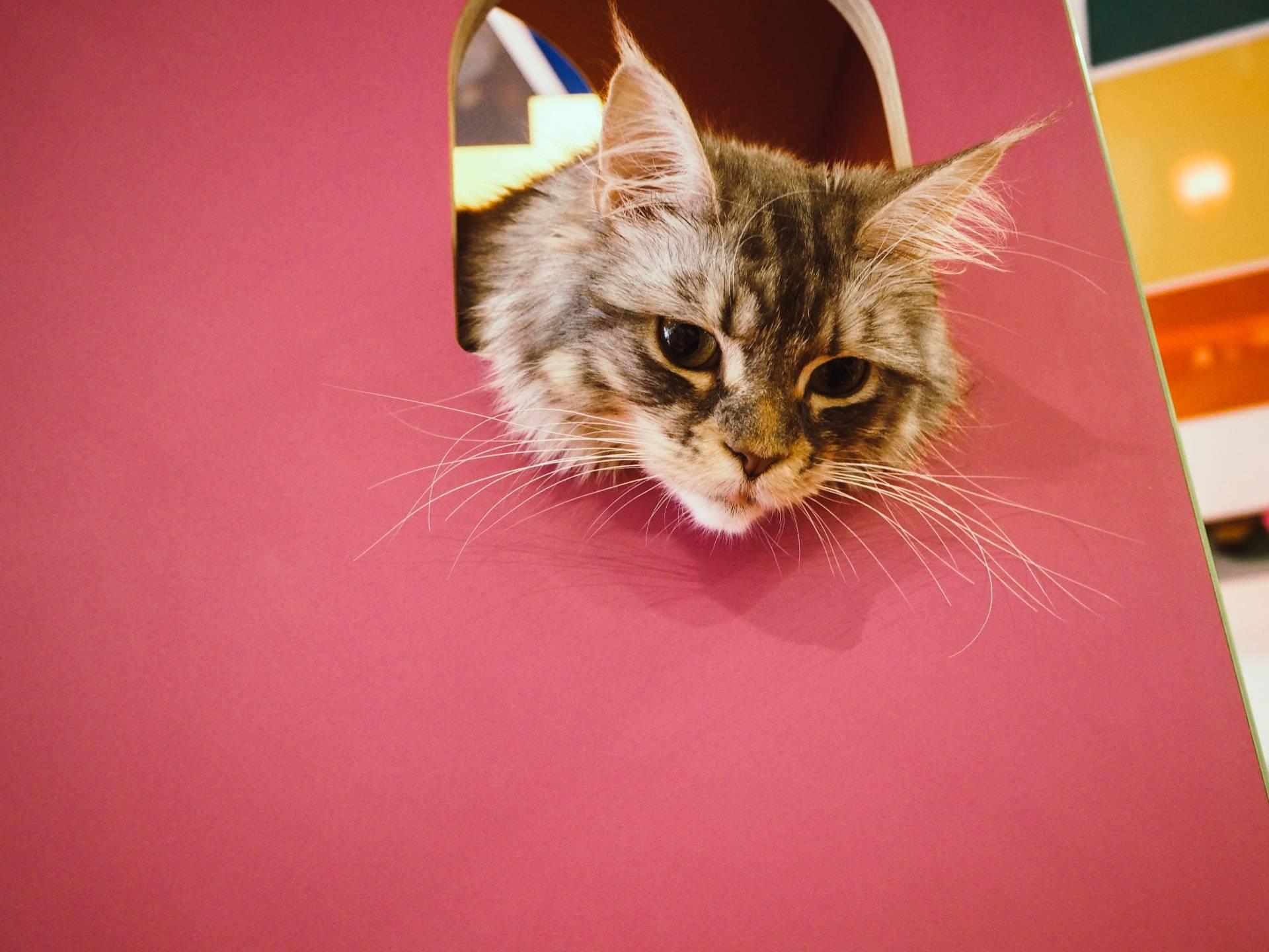 Kitty Cafe Nottingham, Bella